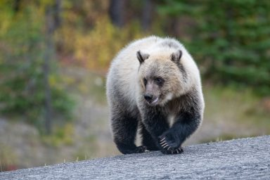 A bear cub with distinct colouring from black to blonde steps onto pavement