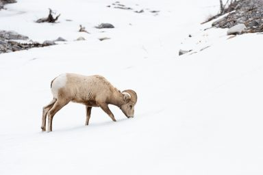 A young big horn sheep foraging in snow in Kananaskis