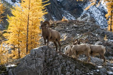 A big horn sheep stands on rock in front of yellow larches while three others huddle behind