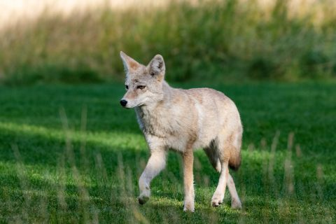 A coyote walking across the golf course in Banff