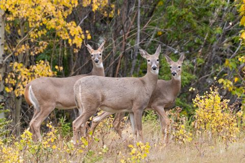 A deer family standing surrounded by fall colours in Kananaskis