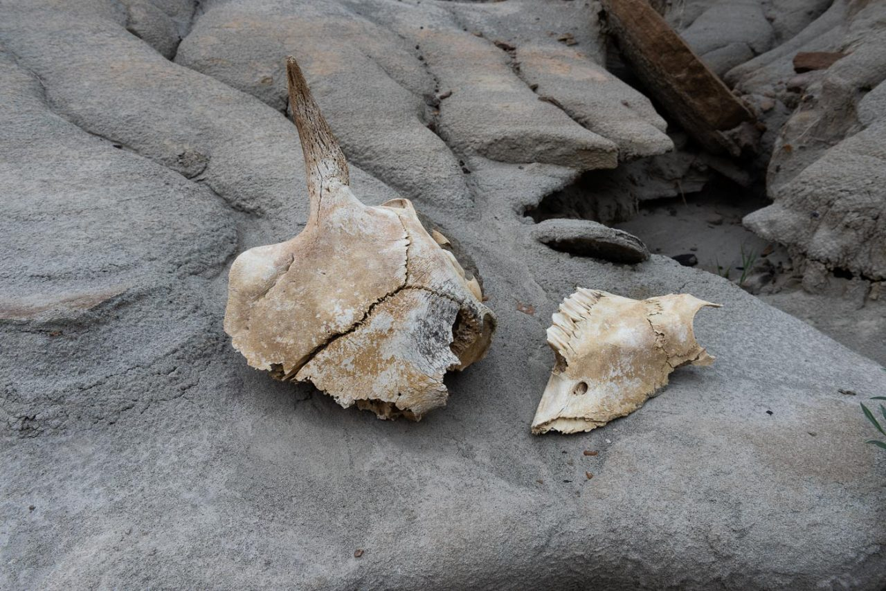 Broken pieces of a bison skull laying around in the badlands