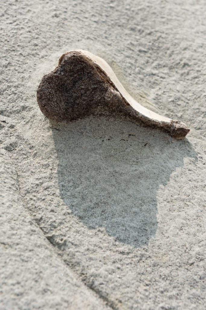 Fossil sticking out of the sandstone in dinosaur provincial park