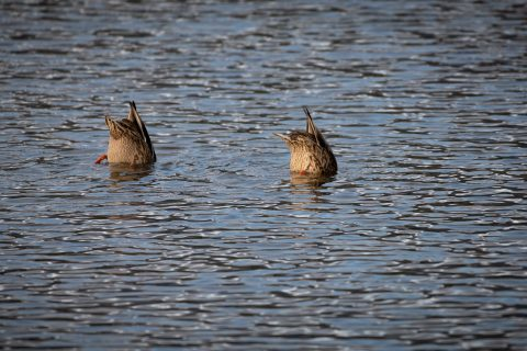 Two ducks diving in water at Vermillion Lakes