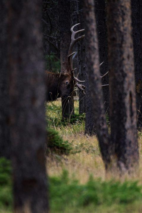 Bull elk rubbing rack against trees in Banff