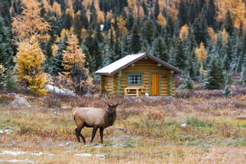 A young elk standing in front of a hut and yellow larches at Assiniboine Provincial Park