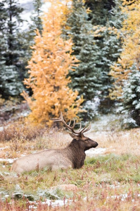 Elk sitting in frosty grass in a larch and pine forest at Assiniboine Provincial Park