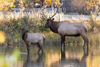 Bull elk and young walking through Policeman's creek in Canmore