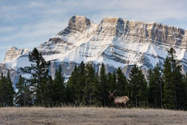 Young elk standing in front of Mount Rundle in Banff