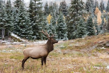 Elk standing in front of larch and pine forest