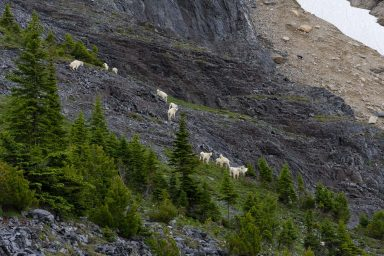 A herd of mountain goats walking up grey rock bands