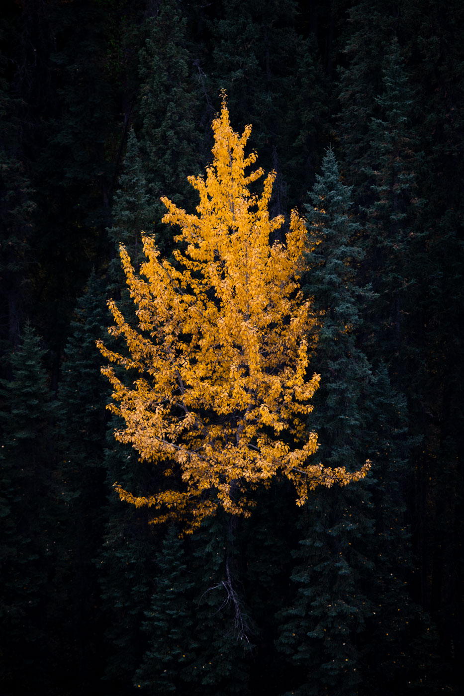 Golden Aspen with falling leaves surrounded by pine trees
