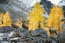 Four big horn sheep standing on rocks in front of yellow larches in Highwood pass