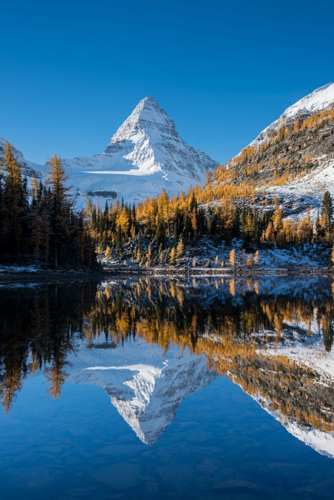 Larches and a snowy Mount Assiniboine reflecting in Sunburst Lake