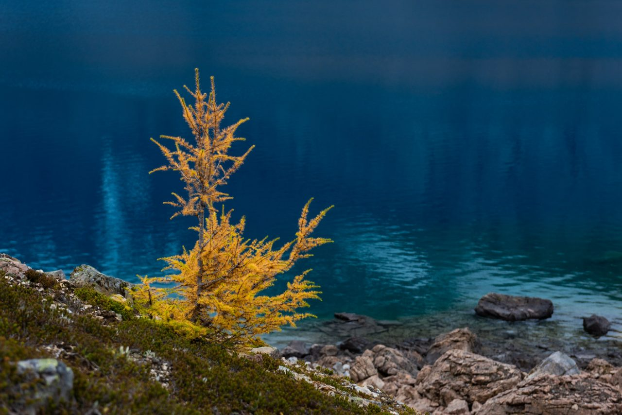 Single small yellow larch tree framed against deep blue alpine lake