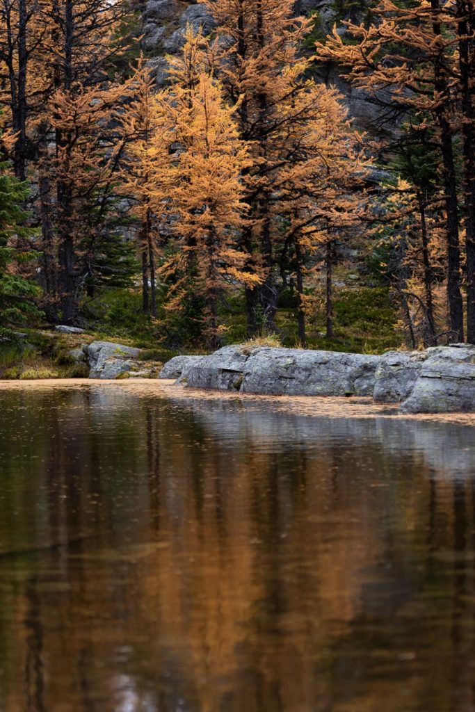 Larch needles in a pond with larch trees reflecting