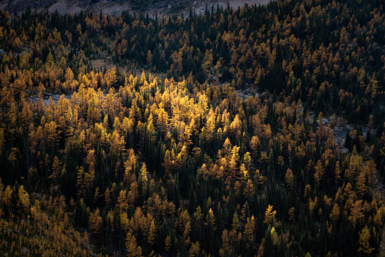 Sunlight hitting a patch of larch trees while the rest of the forest remains in shadow