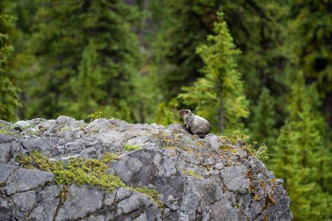 Marmot standing on rocky ridge surround by green pine trees