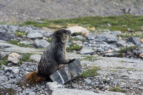 A marmot standing against a rock