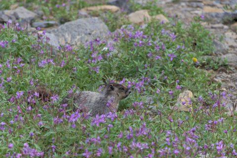 Marmot sitting in purple flowers