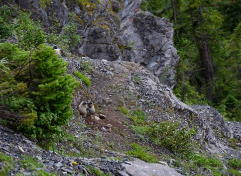 A mother marmot looks down at two baby marmots playing in Yoho National Park