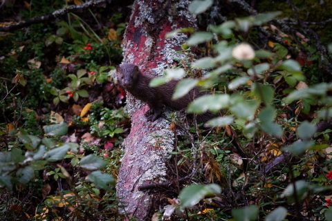 Minx standing on fallen log, peering around leafy branches in Northern Alberta