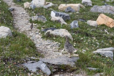 A female pheasant standing a rock on a trail watching young walk