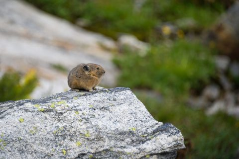 Pika perched on rock covered with a bit of green lichen