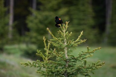 Red wing black bird flaring out feathers sitting on a small pine tree in Banff