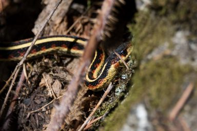 Red, black and yellow snake curving through branches