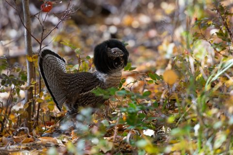Spruce grouse standing in fall foliage, Nordegg