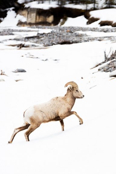 Sheep walking through snow in Kananaskis