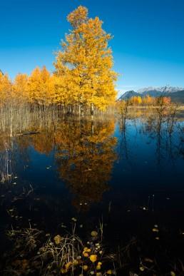 Golden aspens reflecting in Abraham Lake