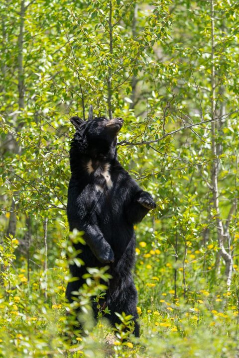 A black bear stands up to scratch it's back against a tree