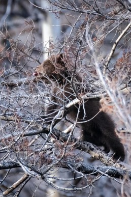 A bear cub reaches with its tongue while stretched out a tree branch