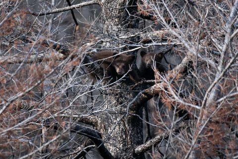 Two brown black bear cubs peeing out from the branches high up in a tree
