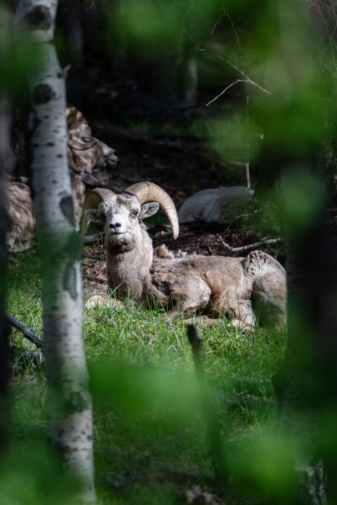 A big horn sheep lying down a forest in Banff National Park