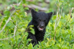 A black bear cub with its mouth open sitting in leafy vegetation, Waterton