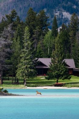 An elk calf runs through brilliant blue waters of Lake Edith, Jasper
