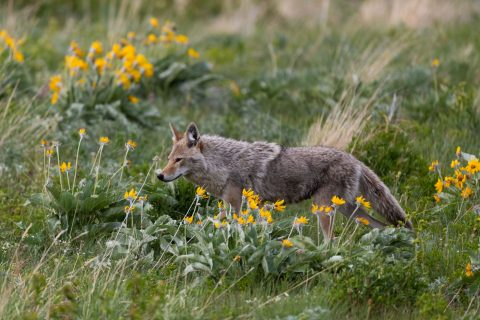 A coyote walks through yellow flowers in Waterton National Park
