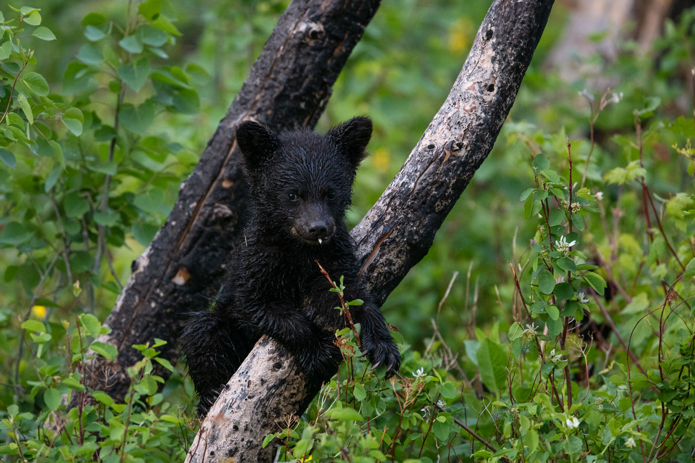 A black bear cub smiles with flowers sticking out of its mouth as it clings to a tree