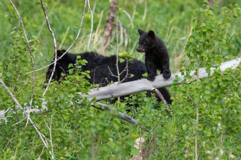 A black bear cub perches on a fallen tree while the sow walks behind
