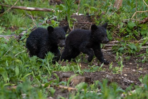 Two black bear cubs running through green plants