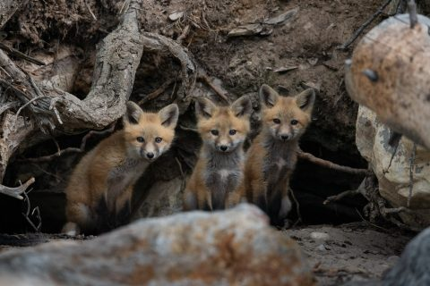 Three fox kits peer out from their den