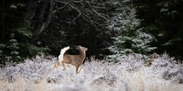 A white tail deer runs through a frosted forest in Banff Alberta