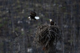 Female eagle flies from a nest as the male watches on