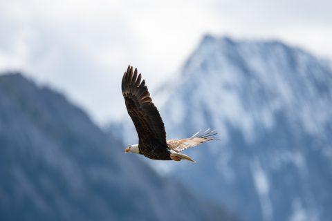Eagle flies over Medicine Lake in Jasper Alberta