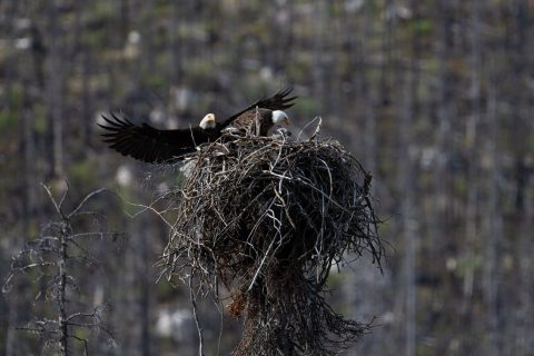 Male eagle flying into a nest while the female is feeding a fledgling