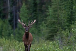 Elk with velvet antlers walks through a forest in Jasper National Park
