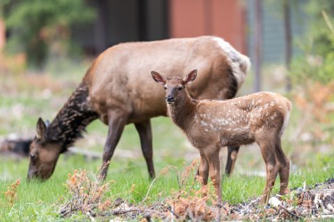 An elk and calf eat vegetation at Wapiti Campground in Jasper National Park